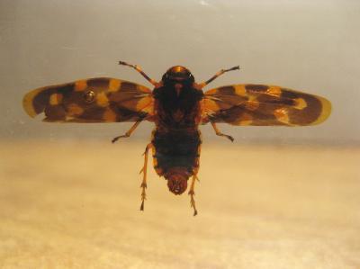 Насекомые №48 Пенница (Cercopidae) фото, обсуждение